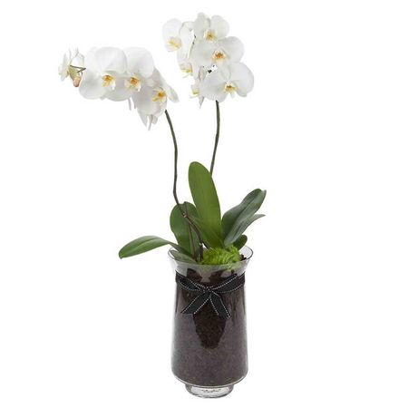 White Phalaenopsis Orchid (Duo)